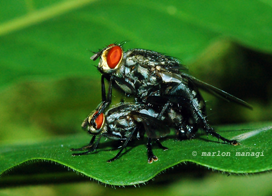 Photograph Oh no, Oh ye,,insect in action by Marlon Managi on 500px