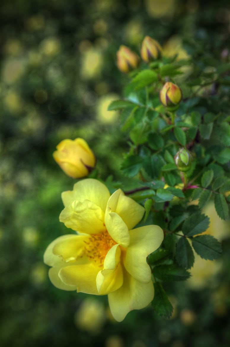Photograph Yellow Rose by Brian Michaud on 500px