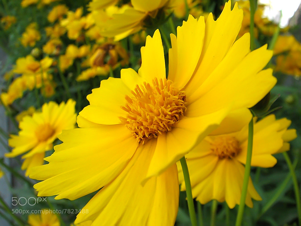 Photograph Yellow flowers by javad afzali on 500px