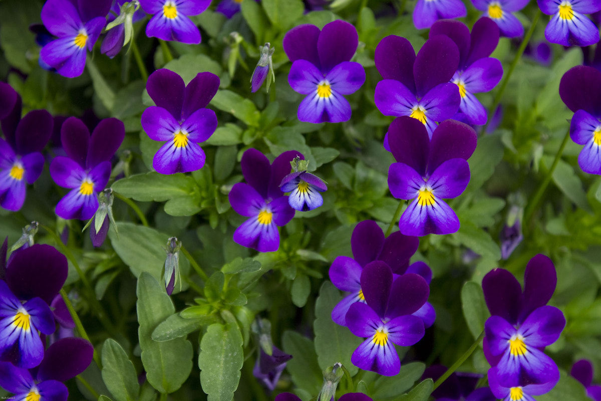 Photograph Violas by Rich Gaskill on 500px