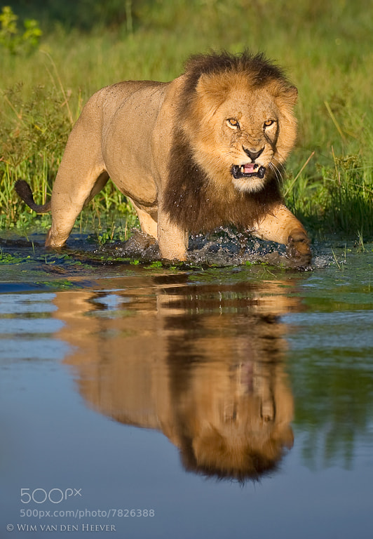 Photograph Lion Crossing by Wim van den Heever on 500px