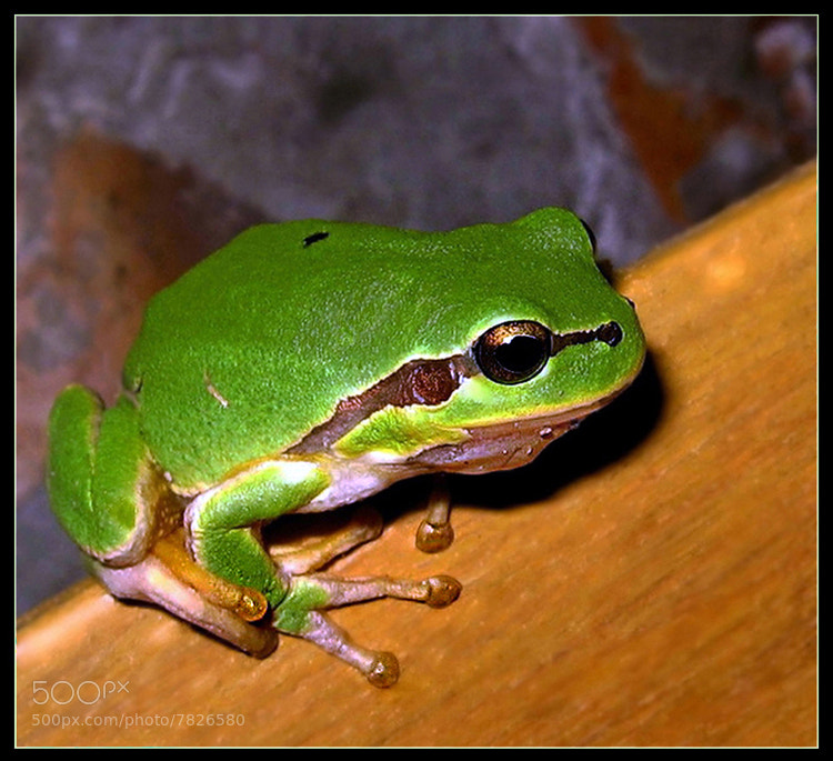 Photograph Litlle frog					 by Ирина Ганичева on 500px