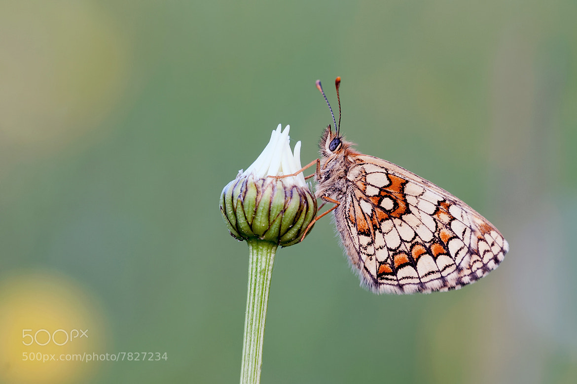 Photograph Fritillary  by Bernhard Lagler on 500px