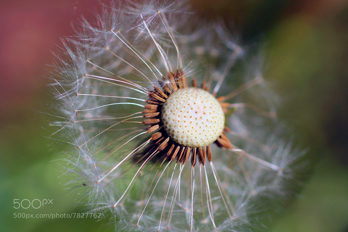 Photograph Dandelion by I am 12 y/o on 500px