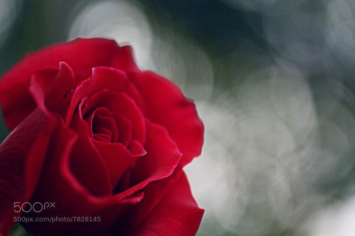 Photograph Rose Bokeh by Julia S on 500px