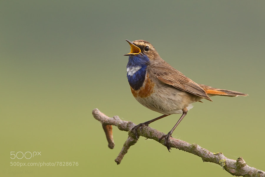 Photograph Bluethroat - Male by Siegfried Noët on 500px