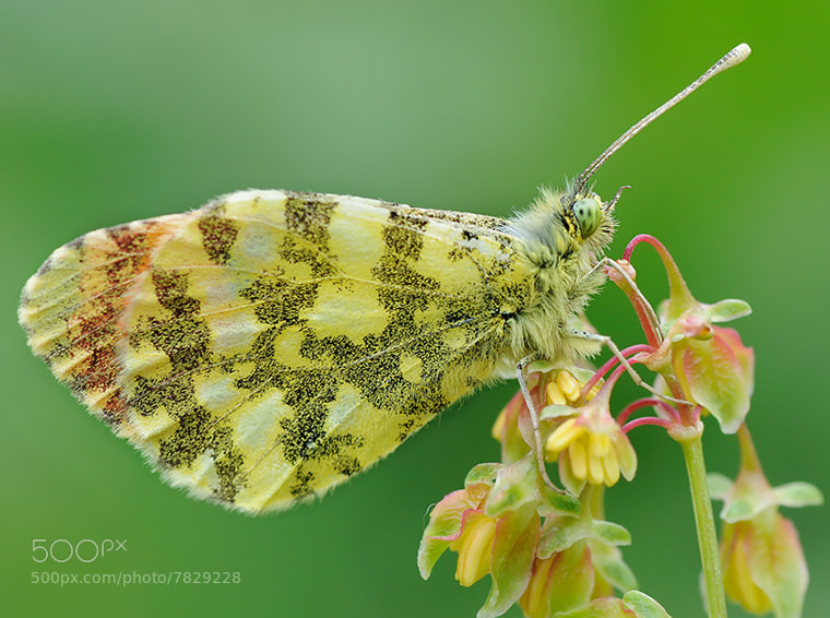 Photograph Butterfly 3 by Soheil Shahbazi on 500px
