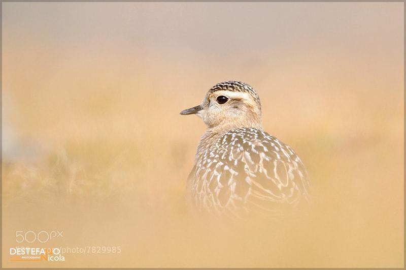 Photograph Eurasian Dotterel by Nicola Destefano on 500px