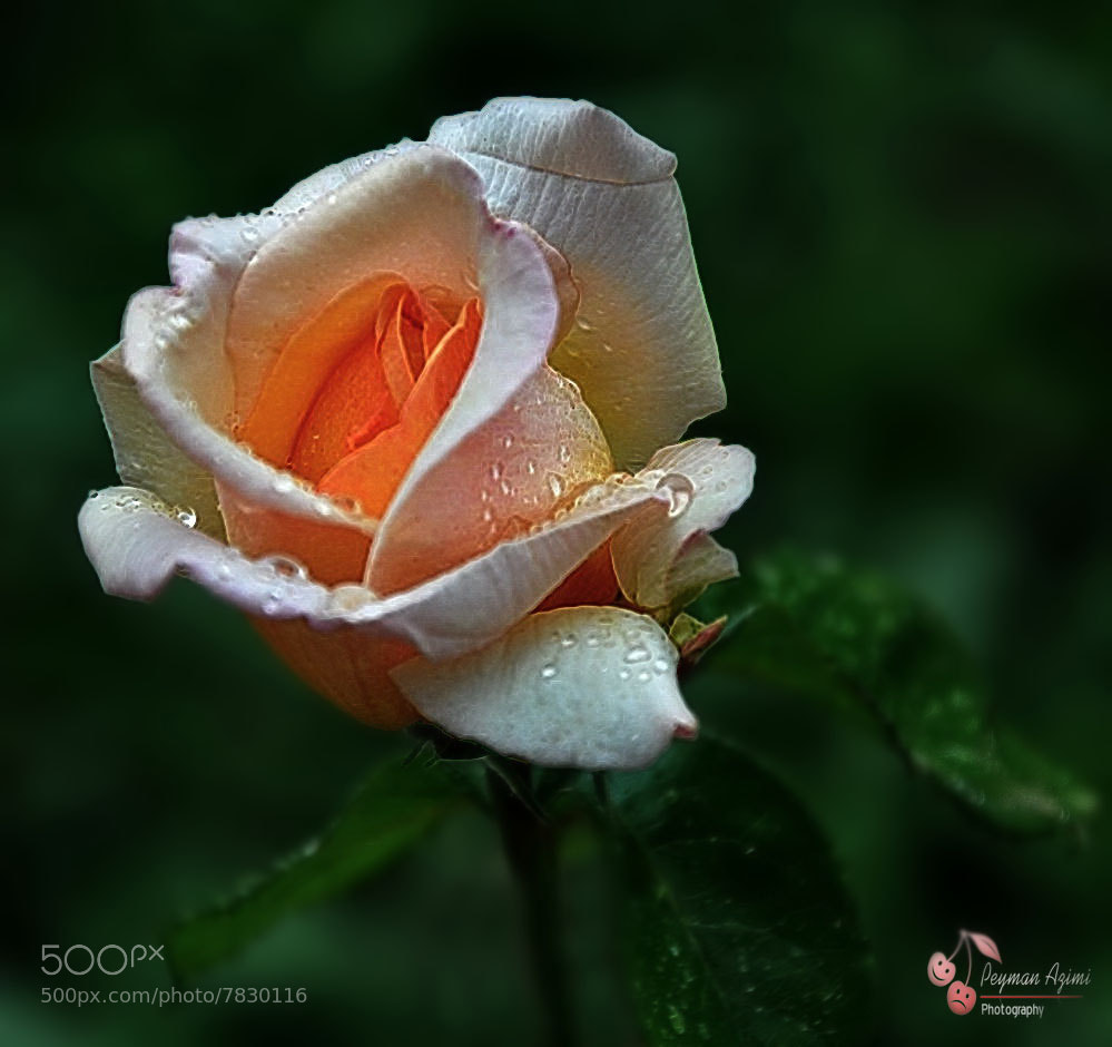 Photograph Rose 2 by Peyman Az on 500px