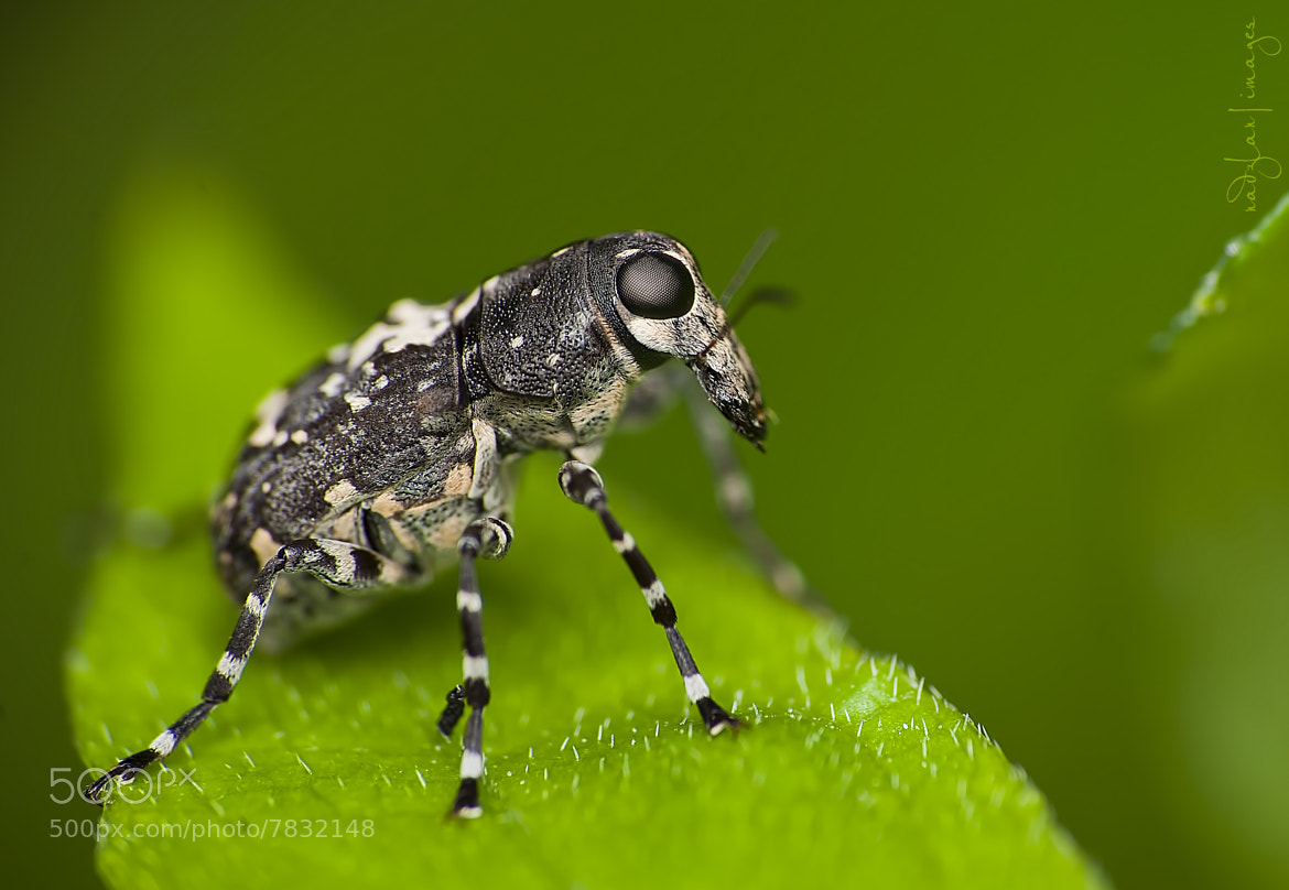 Photograph Mr Weevil  by Nadzli Azlan on 500px