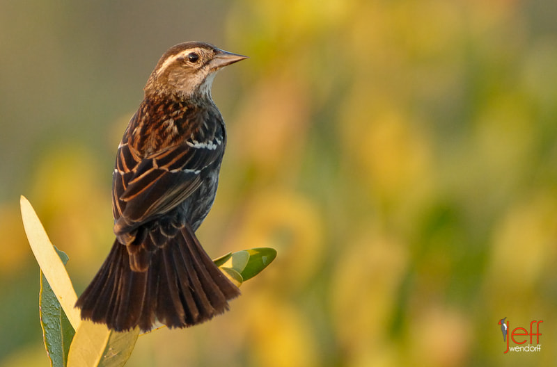 Photograph Mrs. Red-winged Blackbird by Jeff Wendorff on 500px