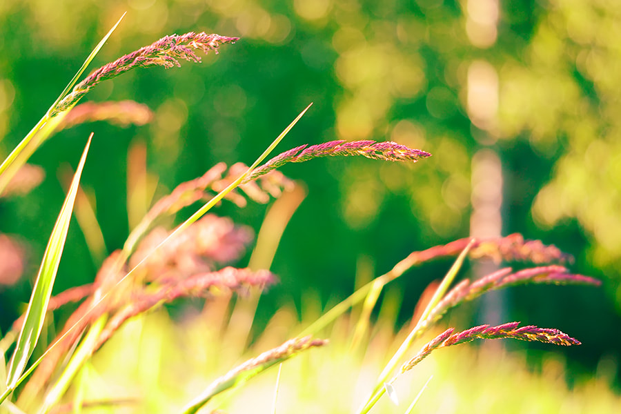 Photograph Ruddy spikelets by Art V. on 500px