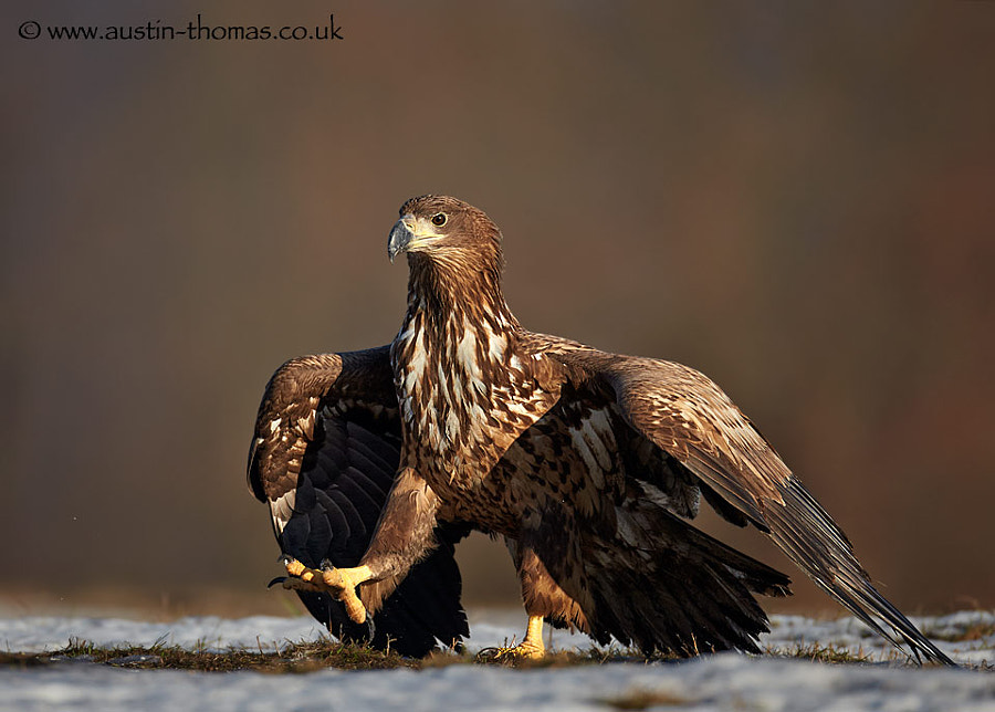 A Marching Eagle...