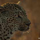 Постер, плакат: Backlit Leopard