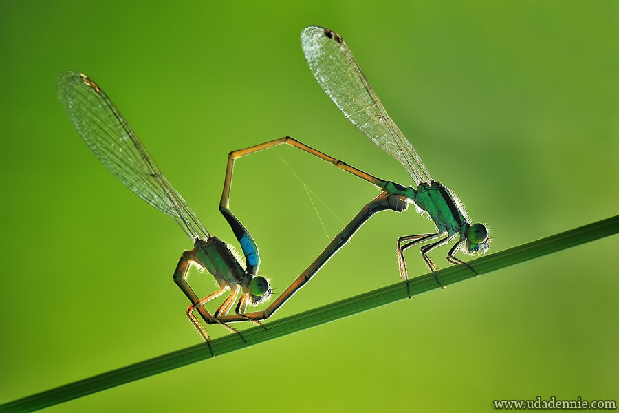 Photograph Mating in the morning by Uda Dennie on 500px