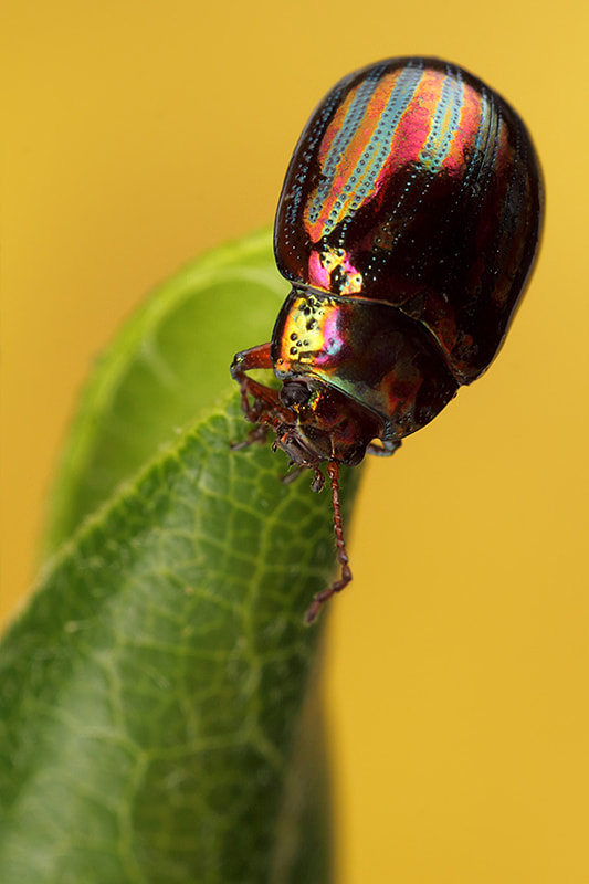 Photograph Chrysolina americana  by Paulo Torck on 500px