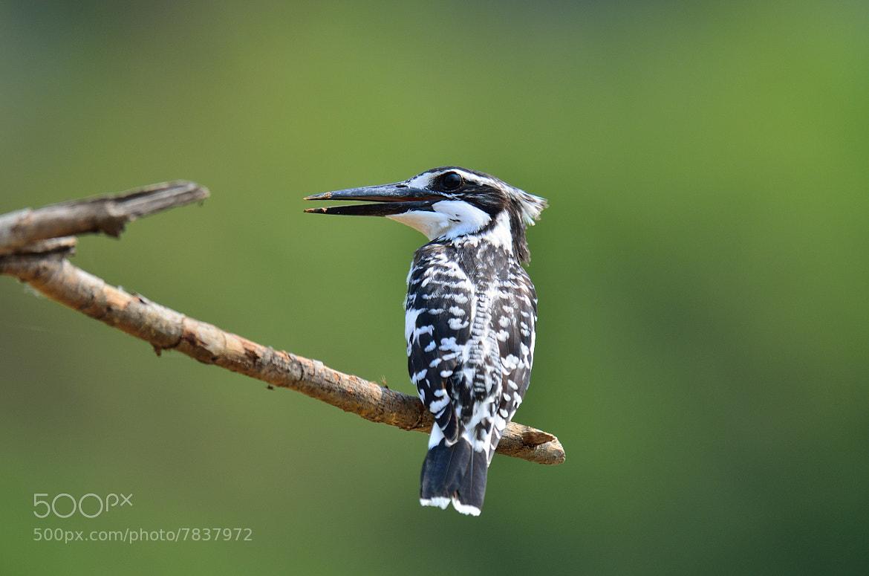 Photograph Pied Kingfisher by Peerakit Jirachetthakun 5392 on 500px