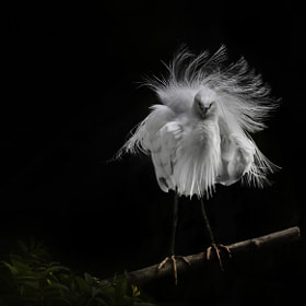 I am Egret the Great! by Sue Demetriou (MadMaxDog)) on 500px.com