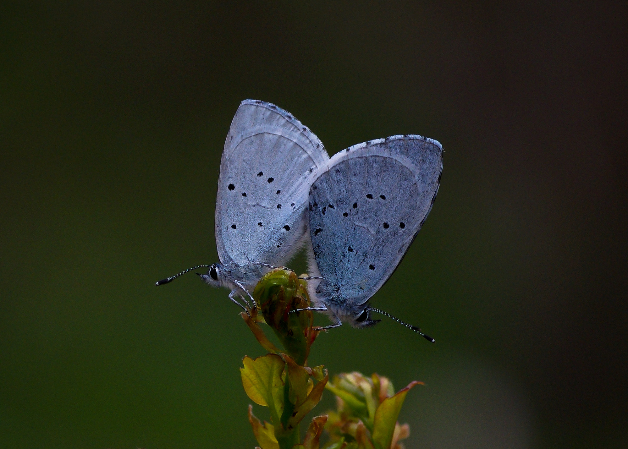 Photograph Celastrina argiolus by Cihangir   Yariz on 500px