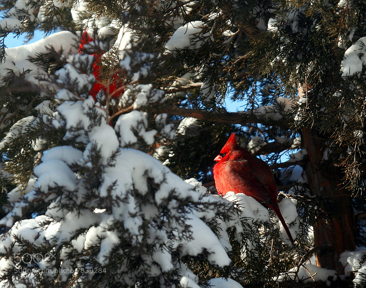 Photograph Northern Cardinals by David Burwell on 500px