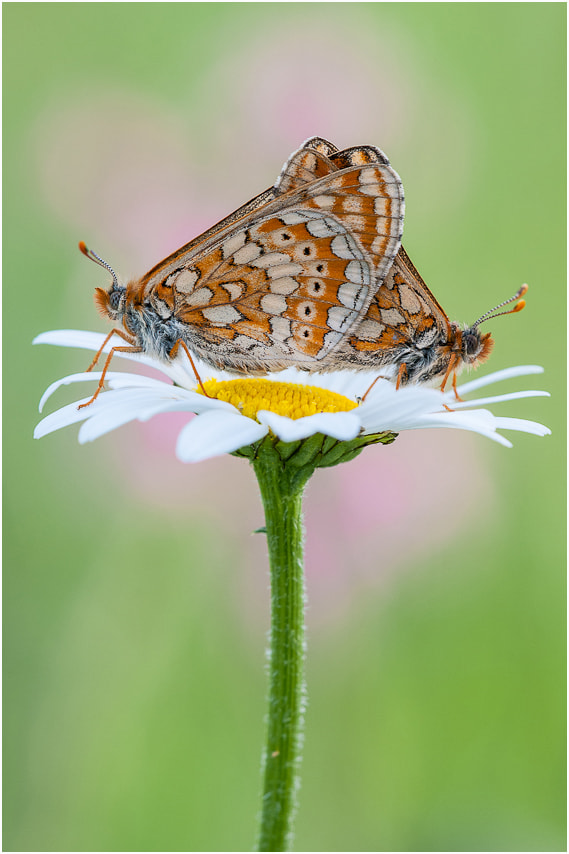 Photograph Euphydryas aurinia by Torsten Bittner on 500px