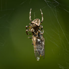 Постер, плакат: Spider catch a botfly