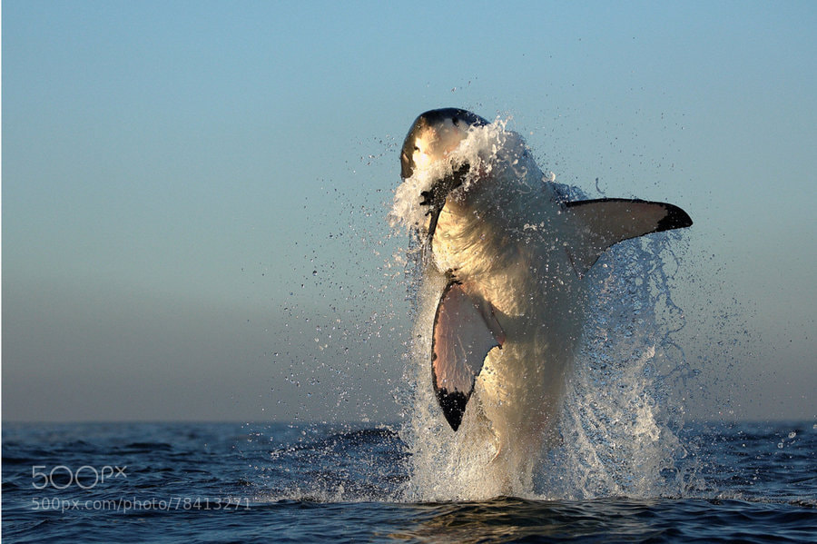 Photograph White Shark Hunting by Alfred Weissenegger on 500px