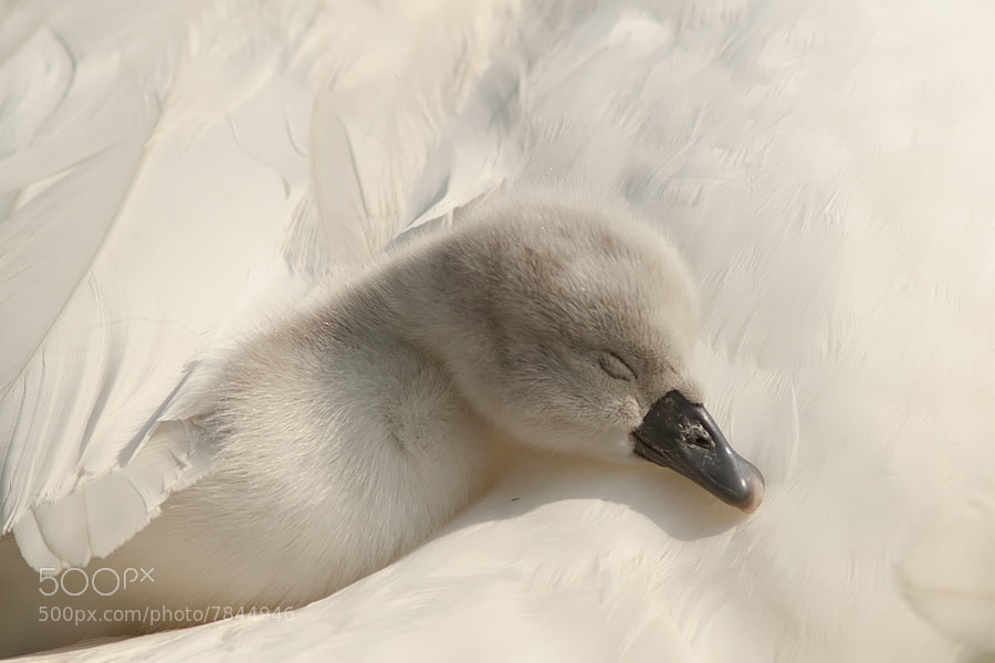 Photograph Under Mother's Wings by Roeselien Raimond on 500px
