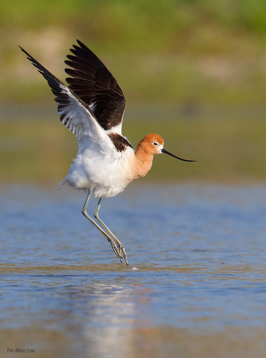 Photograph Avocet After Bath by Tin Man on 500px