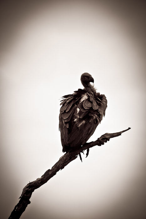 Photograph Vulture by Sheree Richter on 500px