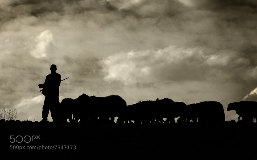 Photograph Flock of sheep by yousef khoram on 500px