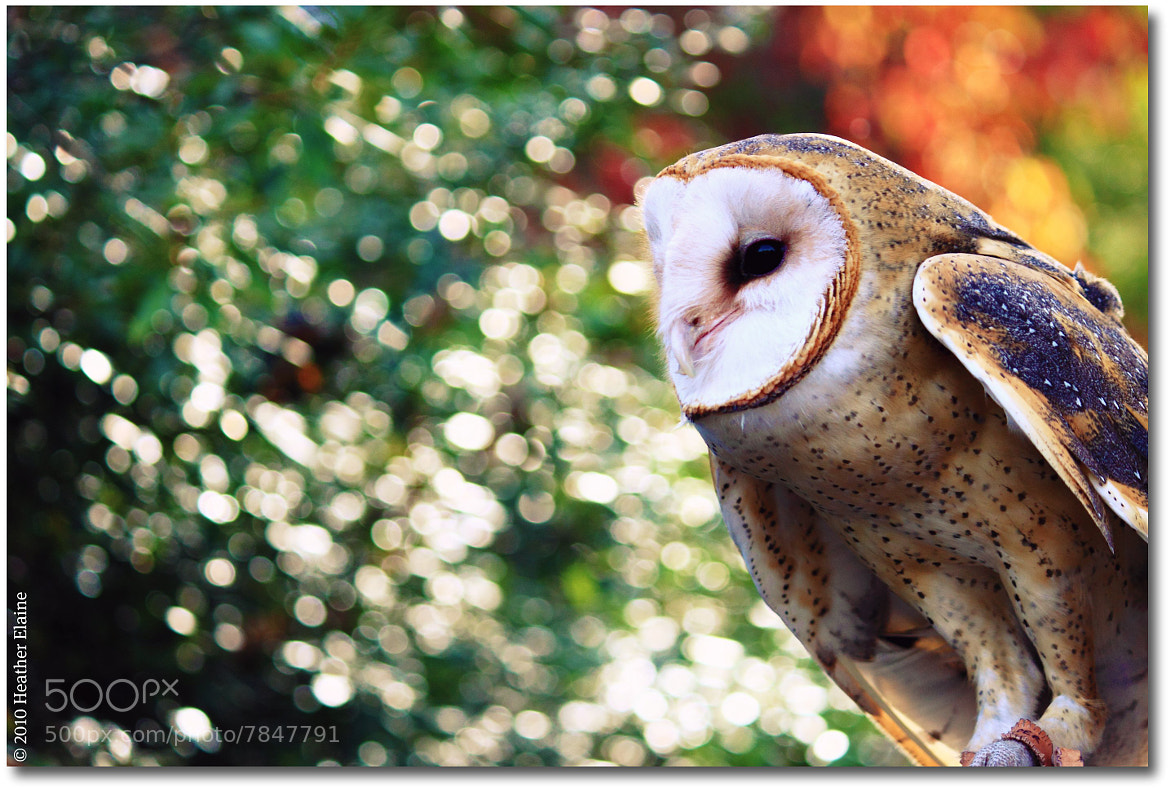 Photograph The Barn Owl by Heather Elaine on 500px