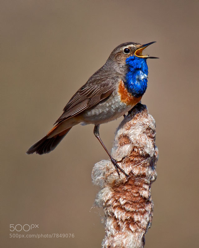 Photograph Bluethroat by Małgorzata Tymińska on 500px