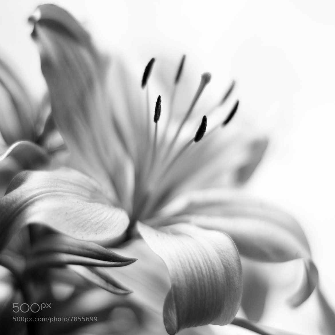 Photograph Easter's lily by Angela King-Jones on 500px