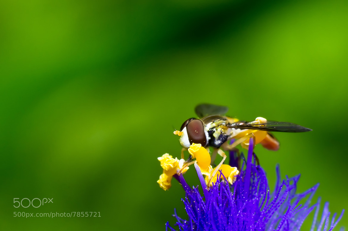 Photograph Hoverfly on Spiderwort by Lori Coleman on 500px