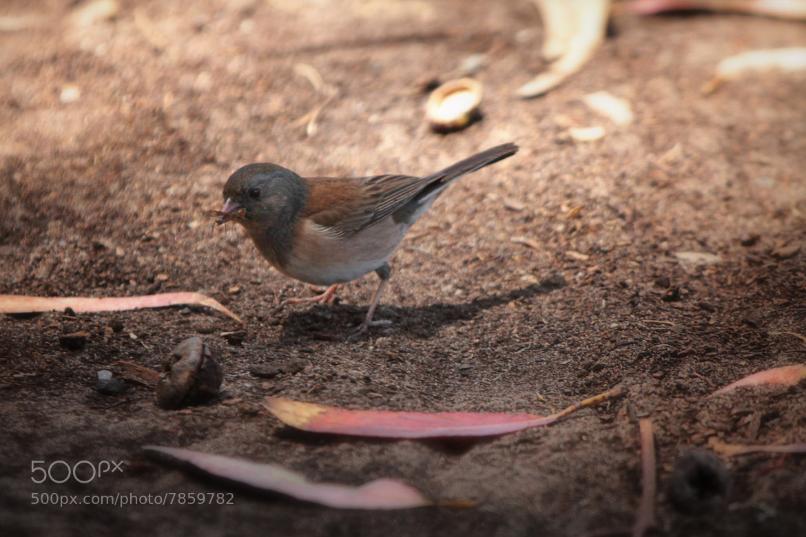 Photograph Junco with a Meal by Todd Livermore on 500px