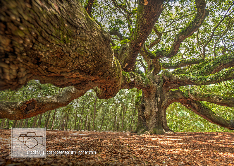 Photograph Angel Oak, Johns Island, Charleston SC by Cathy Anderson on 500px