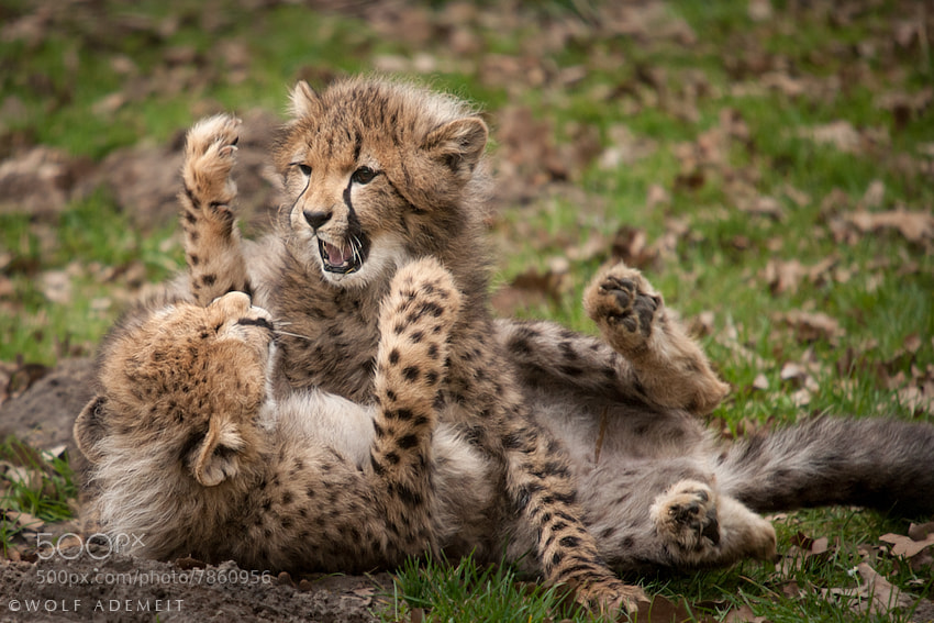 3 cheetah cub play