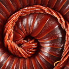 Постер, плакат: Red Millipede Fibonacci Sequence Macro