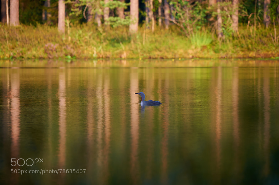 Photograph Red-Throated Loon by Jere Ketola on 500px