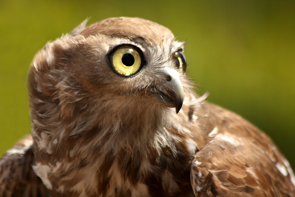 Photograph Hawk by Andrew Tallon on 500px
