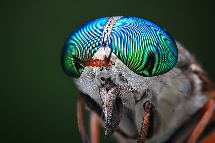 Photograph horsefly by shikhei goh on 500px