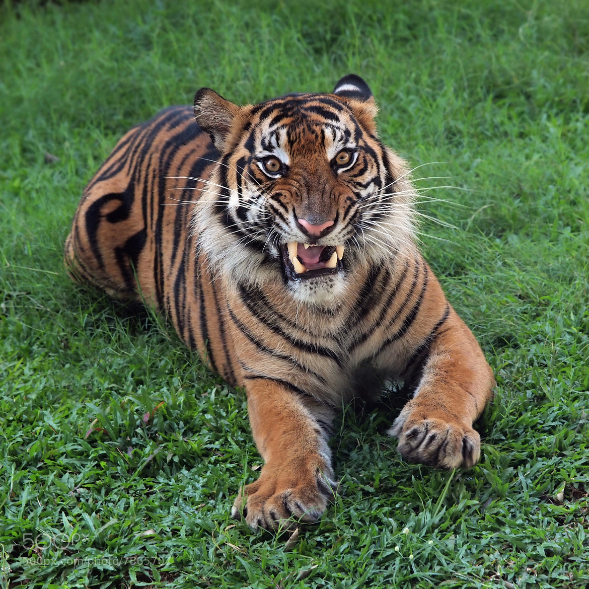Photograph angry tiger by fajar andriyanto on 500px - Show me a picture of the tiger ...