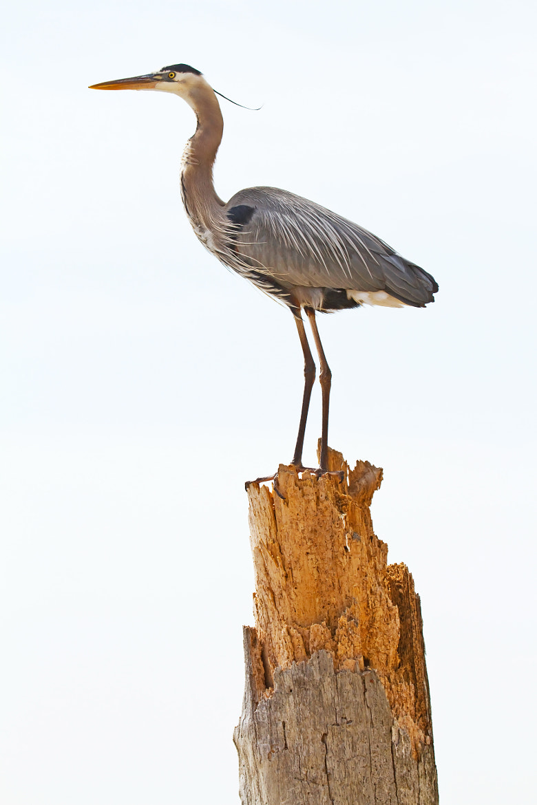 Photograph Great Blue on Tree Stump by Lorraine Hudgins on 500px