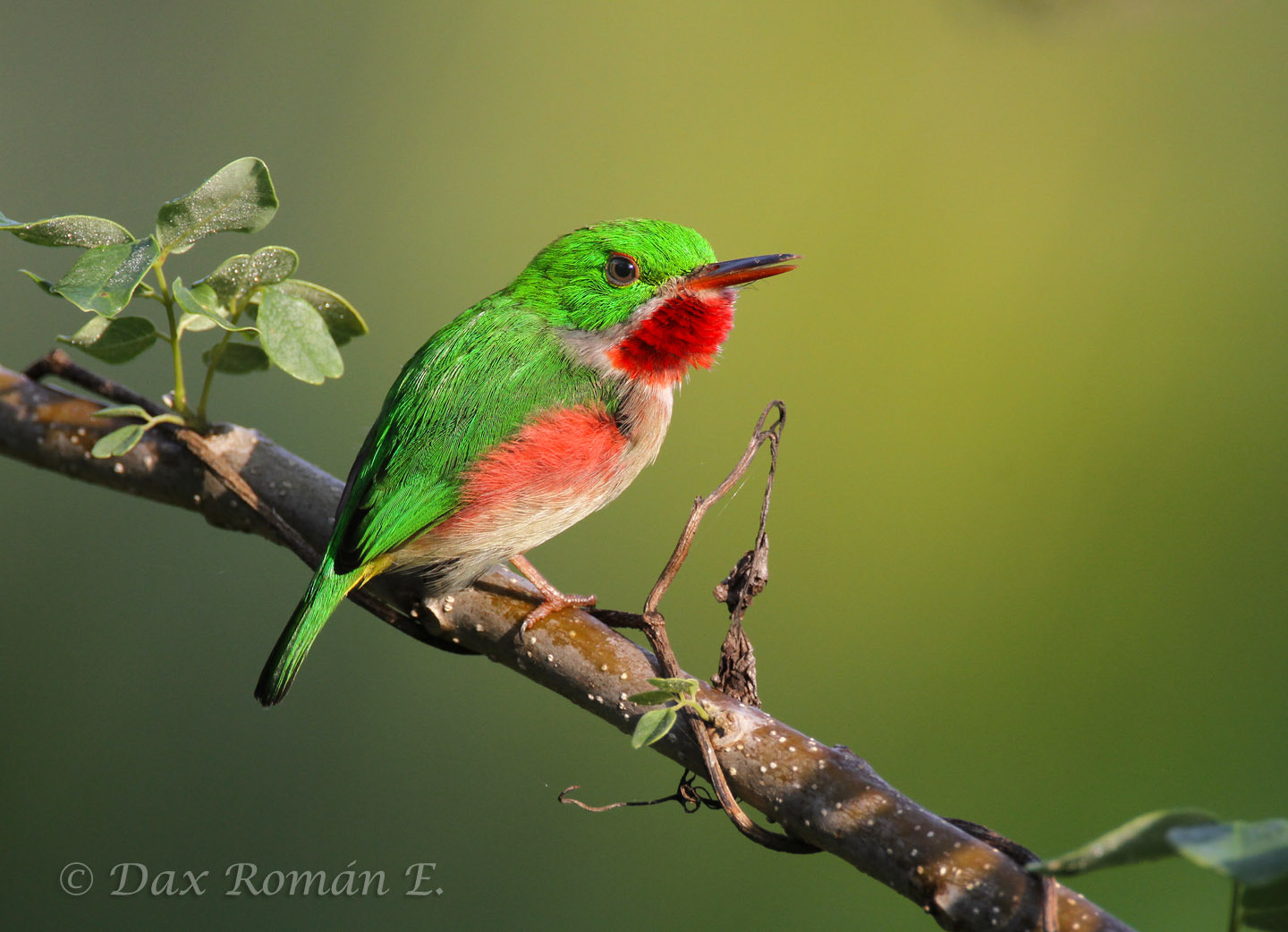 Broad Billed Tody Broad-billed Tody Todus