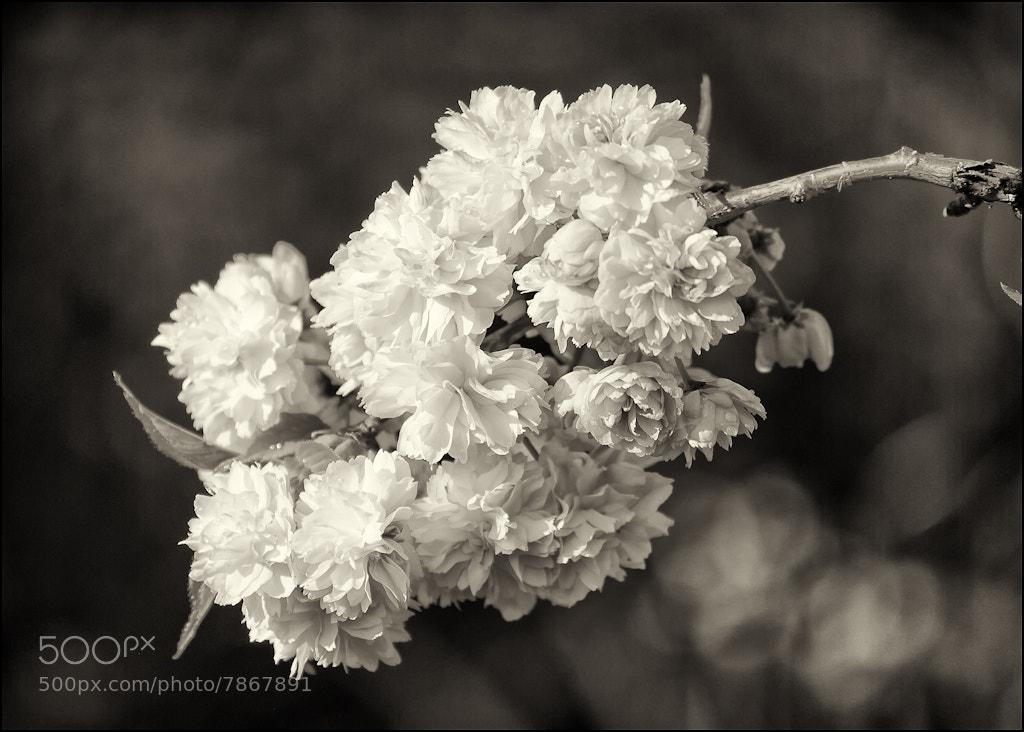 Photograph Apple Blossom by Mark Heller on 500px