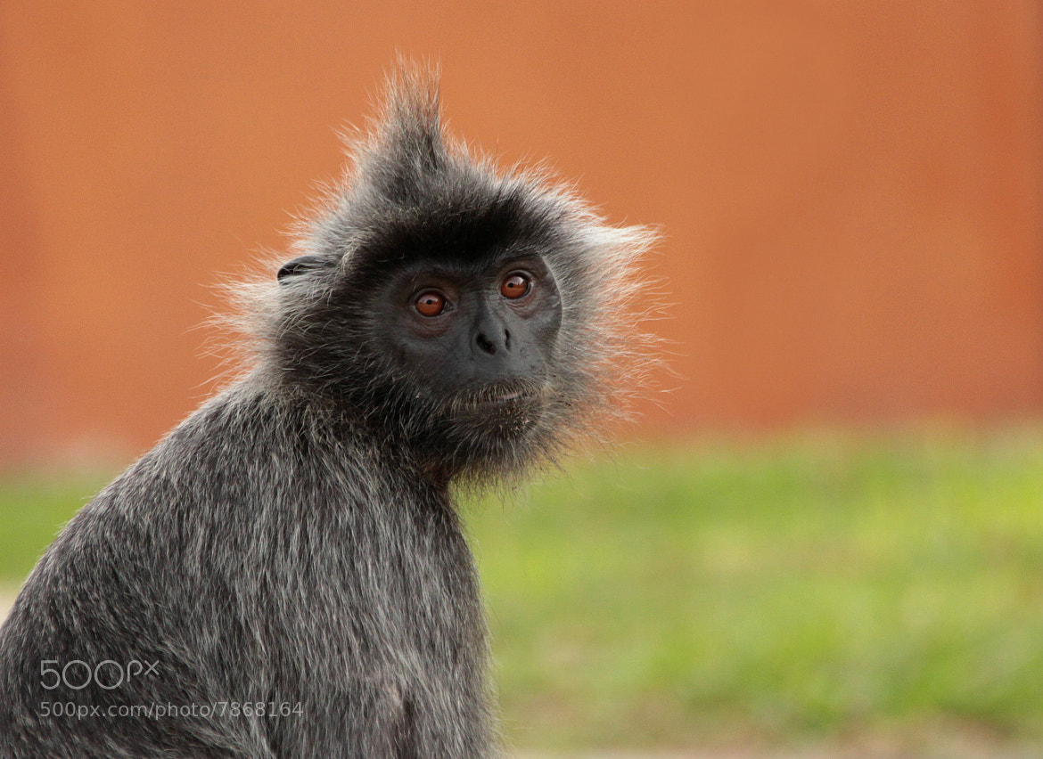 Photograph Punker Monkey by Marc Bulte on 500px