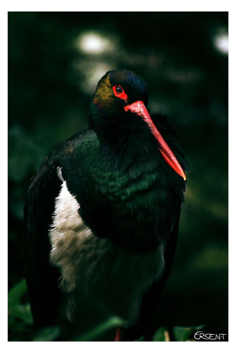 Photograph Ciconia nigra by Ersen T on 500px