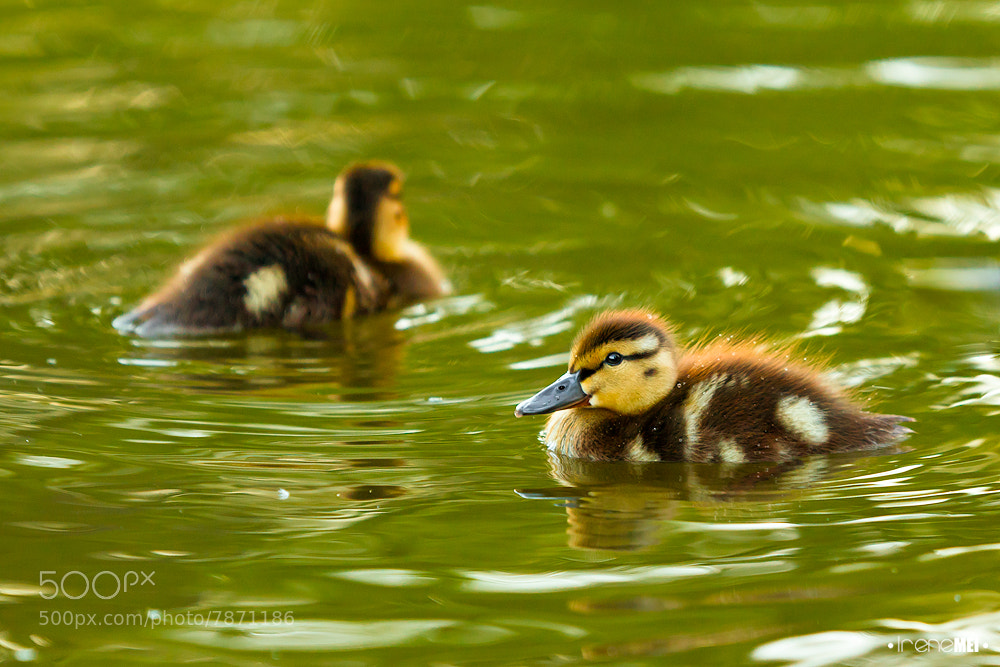 Photograph Ducklings by Irene Mei on 500px