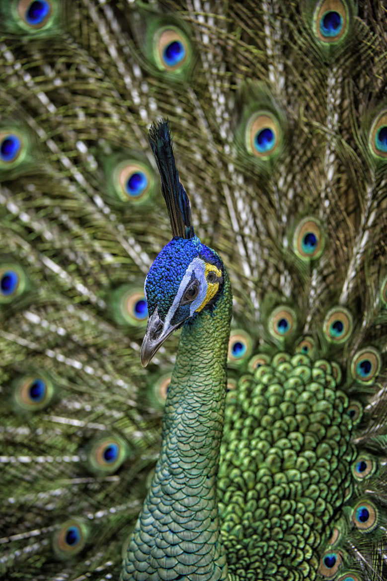 Photograph Displaying Peacock by Daniel Parent on 500px
